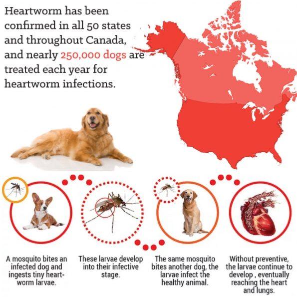 Toronto Heartworm infographic